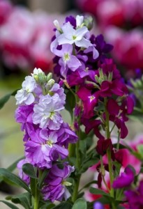 sweet-pea-flower-purple-white-pink-image
