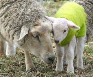 mother-lamb-baby-lamb-image