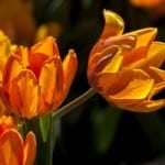 beautiful-orange-tulips-image
