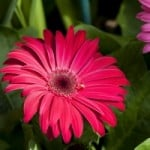 bright-pink-daisy-image
