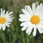 two-daisy-image