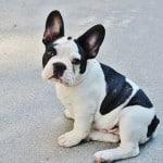 french-bulldog-sidewalk-image