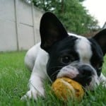 terrier-with-yellow-ball-image