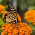 orange-zinnia-monarch-perched-image