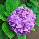 lavender-hydrangea-image