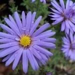 purple-daisy-like-flower-image