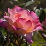 beautiful-pink-yellow-rose-image