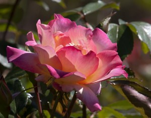 beautiful-pink-yellow-rose-image