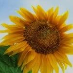 big-yellow-sunflower-blue-skies-image