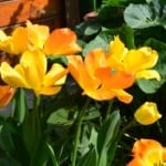 yellow-orange-tulips-image
