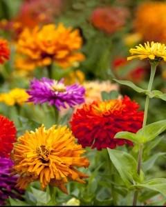 multicolor-zinnia-garden-image