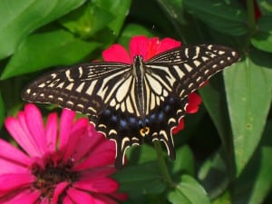 butterfly-on-pink-daisies-image