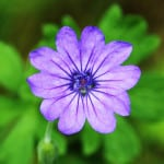 single-purple-flower-green-leaves-image