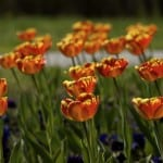 field-orange-flowers-image