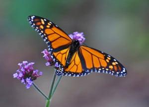 monarch-butterfly-purple-flower-faded-background-image