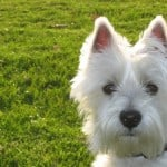 white-point-ear-dog-image