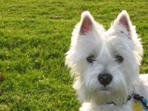 white-point-ear-dog-image