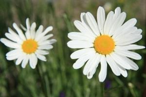 happy-daisies-image