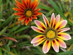 yellow-orange-brown-daisies-image