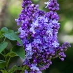 purple-lilac-stalk-image