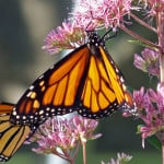 monarch-hanging-on-pink-flower-image