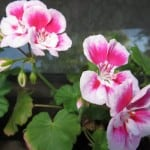 light-and-dark-pink-geraniums-image