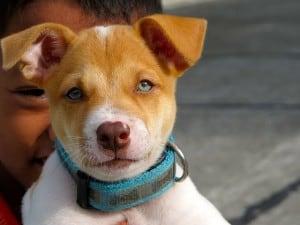 big-blue-eyed-brown-white-puppy-image