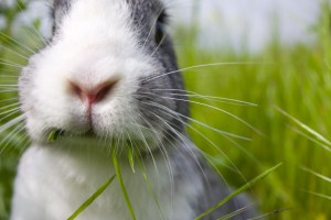 gray-white-bunny-chewing-grass-image