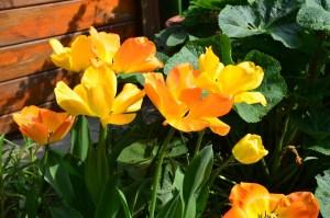 yellowish-orange-tulip-garden-image