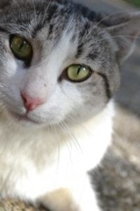 grey-white-kitty-cat-image