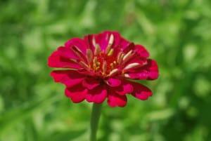 single-red-zinnia-green-image