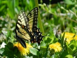 yellow-black-butterfly-dandelion-image