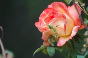 apricot-pink-rose-image