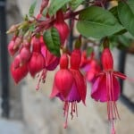 hanging-red-flowers-image