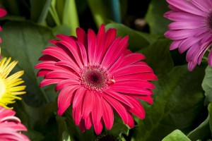 colorful-daisies-pink-yellow-purple-image