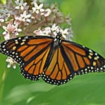 tiny-flowers-monarch-image