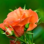 orange-rose-image