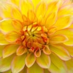 close-up-center-yellow-flower-image