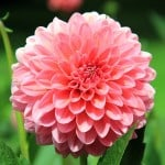 big-pink-button-flower-image