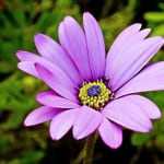 lovely-violet-daisy-flower-image