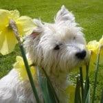 white-terrier-peeking-daffodils-image