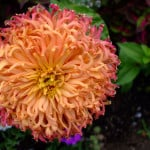 pink-orange-puff-flower-image