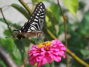pink-flower-butterfly-black-white-image