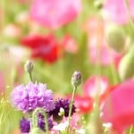 pink-purple-red-flower-field-image
