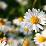 bright-field-daisies-image