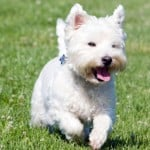 white-westie-dog-running-grass-image