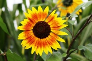 brown-eyed-susan-flower-image