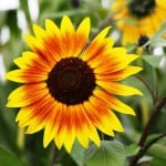 big-brown-eyed-susan-image
