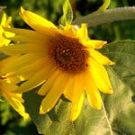 sunflower-leaning-away-from-sun-image
