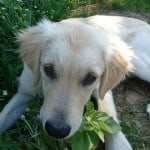 tan-puppy-in-grass-image